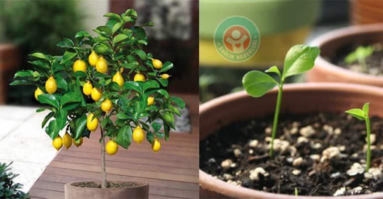 Evinizde çekirdekten limon ağacı yetiştirin!