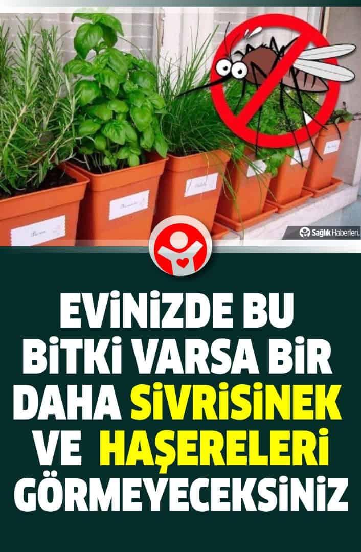 Evinizde bu bitki varsa bir daha sivrisinek ve zararlı böcek görmeyeceksiniz!