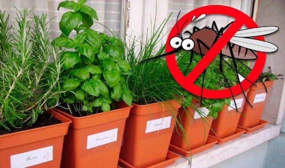 Evinizde bu bitki varsa bir daha sivrisinek ve zararlı böcekleri görmeyeceksiniz