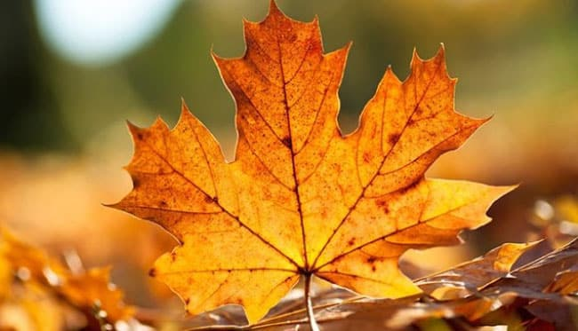 Çınar yaprağı neye iyi gelir? İbrahim Saraçoğlu çınar yaprağı kürü