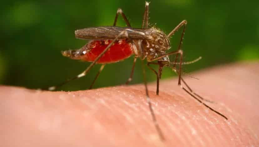 Asya Kaplan Sivrisineği ile biyolojik mücadele başladı