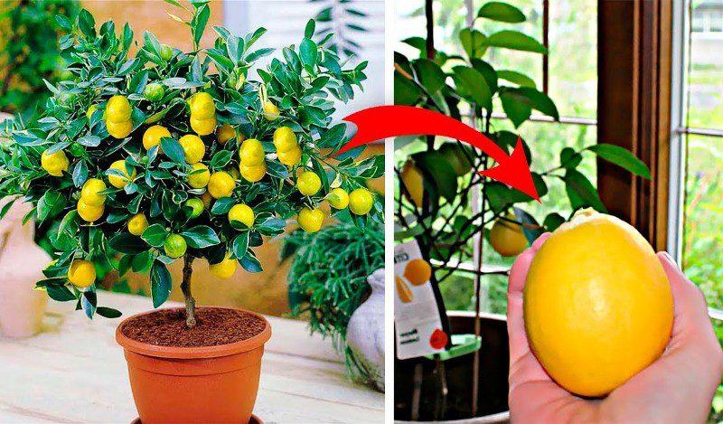 Evde limon ağacı nasıl yetiştirilir, ne sıklıkta sulanır?