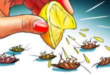 Kalorifer böceğinden nasıl kurtulurum? Bitkisel çözüm nedir?